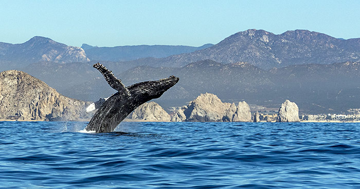 Humpback-Whale-Breaching-in-Hawaii-AdobeStock_190240041-C